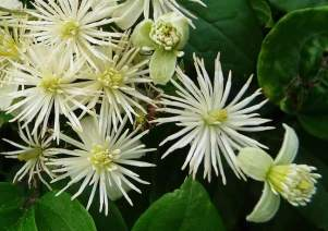 floral-bach-clematis